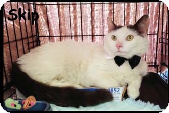 Turkish Van Cat for adoption in Merrifield, Virginia - Skip