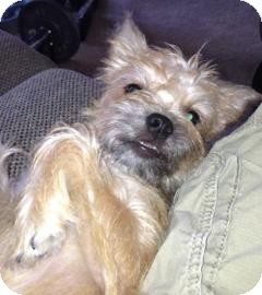 Brussels Griffon Mix Puppy for adoption in Phoenix, Arizona - Luke
