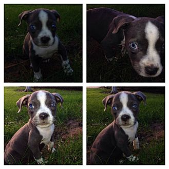 Pit Bull Terrier Mix Puppy for adoption in San Diego, California - Boo
