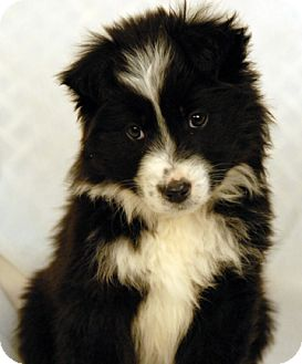 Australian Shepherd Mix Puppy for adoption in Newland, North Carolina - Stella