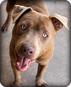 Retriever (Unknown Type)/Labrador Retriever Mix Dog for adoption in Fort Worth, Texas - Pick me!