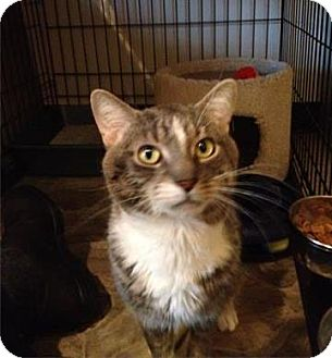 Domestic Shorthair Cat for adoption in Freeport, New York - Bass