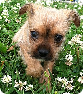 Shih Tzu/Cairn Terrier Mix Puppy for adoption in Snohomish, Washington - Alex Adorable Perfect Pup!