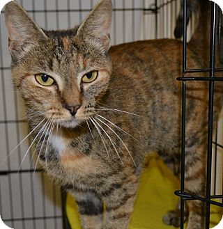 Domestic Shorthair Cat for adoption in Mineral, Virginia - Wilma