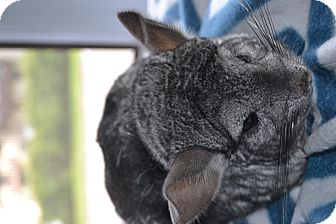Chinchilla for adoption in Lindenhurst, New York - Bella