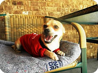 Chihuahua/Terrier (Unknown Type, Small) Mix Dog for adoption in Nashville, Tennessee - Jax