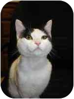 Domestic Shorthair Cat for adoption in San Diego/North County, California - ~ELSIE~