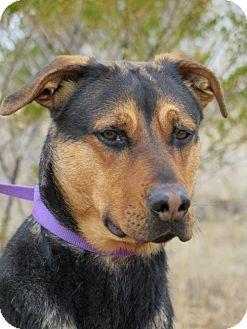 German Shepherd Dog/Rottweiler Mix Dog for adoption in Las Cruces, New Mexico - Kiya