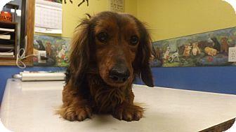 Dachshund Dog for adoption in Columbus, Kansas - Monkey