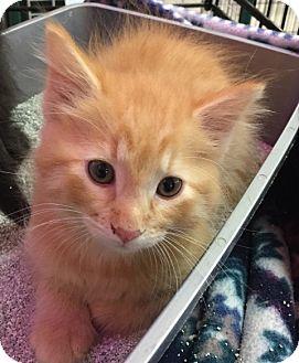 Domestic Mediumhair Kitten for adoption in Sacramento, California - Seymour