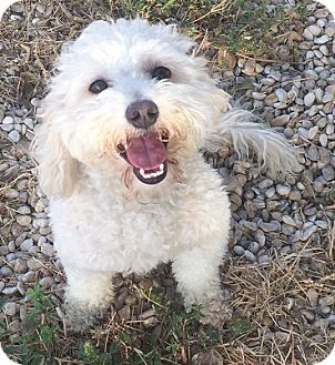 Bichon Frise Dog for adoption in Kirby, Texas - Piper