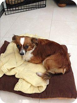 Pekingese Mix Dog for adoption in San Francisco, California - Simi