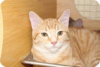Domestic Shorthair Cat for adoption in Tucson, Arizona - Theodore