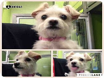 Terrier (Unknown Type, Small) Mix Puppy for adoption in San Francisco, California - Magpie