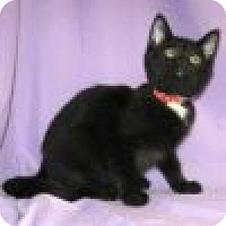 Domestic Shorthair Cat for adoption in Powell, Ohio - Renita