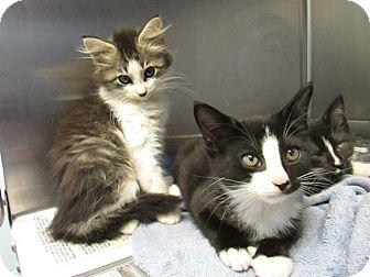 Domestic Mediumhair Kitten for adoption in Warrenton, North Carolina - Titus,Tess,& Trisha