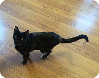 Domestic Shorthair Cat for adoption in Greensburg, Pennsylvania - Macy
