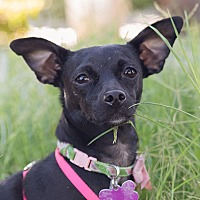 Chihuahua/Terrier (Unknown Type, Small) Mix Dog for adoption in Oakley, California - Gracie