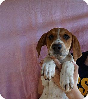 Greater Swiss Mountain Dog/Treeing Walker Coonhound Mix Puppy for adoption in Oviedo, Florida - Mattie