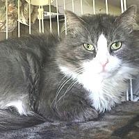Maine Coon Cat for adoption in E. Claridon, Ohio - Nova