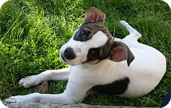 Rat Terrier Mix Puppy for adoption in Cat Spring, Texas - Hunter