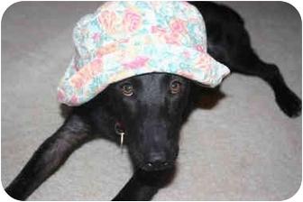 Shepherd (Unknown Type)/Labrador Retriever Mix Puppy for adoption in Concord, California - Tina