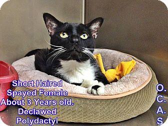 Domestic Shorthair Cat for adoption in Triadelphia, West Virginia - T-3