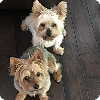 Adopt A Pet :: GRACIE & BECKY - Raleigh, NC