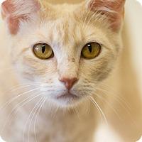 Adopt A Pet :: FELICIA - Houston, TX