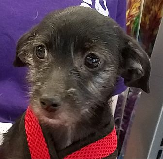 Cairn Terrier/Dachshund Mix Puppy for adoption in Phoenix, Arizona - Luke