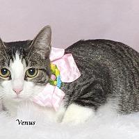 Adopt A Pet :: Venus - Kerrville, TX