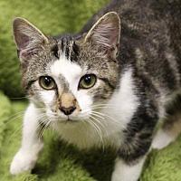 Adopt A Pet :: Mark Squeaks - Raleigh, NC