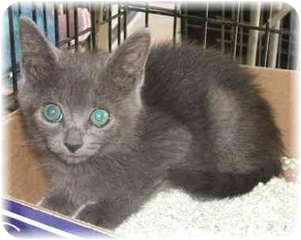 Russian Blue Kitten for adoption in Naples, Florida - Vladamir