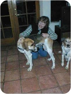 Foxhound/Hound (Unknown Type) Mix Dog for adoption in Phoenix, Arizona - Hector