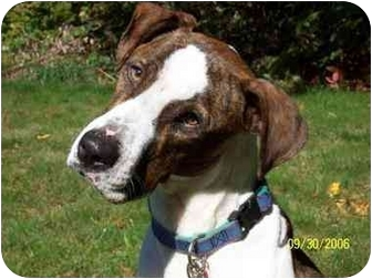 Pointer Mix Dog for adoption in Litchfield, Connecticut - Gavin