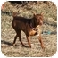 Photo 2 - Miniature Pinscher Dog for adoption in Topeka, Kansas - Coco