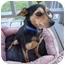 Photo 1 - Miniature Pinscher/Terrier (Unknown Type, Small) Mix Dog for adoption in Glastonbury, Connecticut - Cookie-update