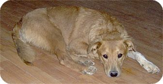 Golden Retriever/Australian Cattle Dog Mix Dog for adoption in Golden Valley, Arizona - Annie
