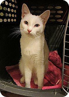 Domestic Shorthair Cat for adoption in Long Beach, California - Sabrina