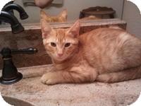 Domestic Shorthair Kitten for adoption in Tampa, Florida - Garfield