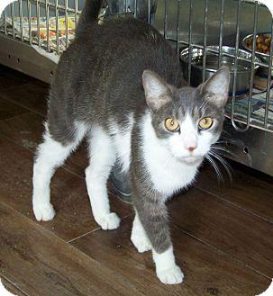 Domestic Shorthair Cat for adoption in Dover, Ohio - Ziggy