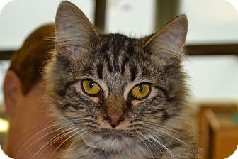 Domestic Longhair Kitten for adoption in Elyria, Ohio - Lyle