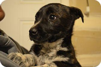 Border Collie/Australian Shepherd Mix Puppy for adoption in Westminster, Colorado - Hershey