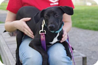 Terrier (Unknown Type, Small)/Retriever (Unknown Type) Mix Dog for adoption in Elyria, Ohio - Diva