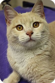 Domestic Shorthair Cat for adoption in Chicago, Illinois - Brie