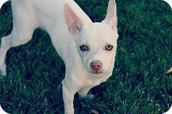 Maltese/Parson Russell Terrier Mix Puppy for adoption in Las Vegas, Nevada - Jax