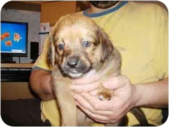 Beagle/Pug Mix Puppy for adoption in Windham, New Hampshire - Elton