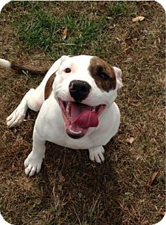 American Pit Bull Terrier Mix Puppy for adoption in Colonial Heights, Virginia - Tundra