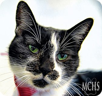Domestic Shorthair Cat for adoption in Martinsville, Indiana - Oreo