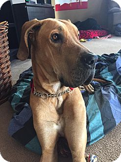 Great Dane Dog for adoption in Mesa, Arizona - Titus